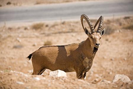 Ibex are a familiar sight near Sde Boker in the Negev Desert.
