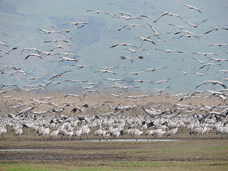 Thousands of cranes take flight in Israel's Hula Valley.
