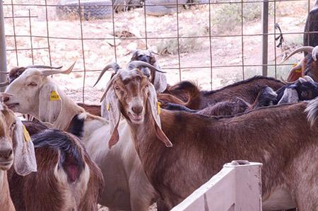 The Kornmehl Goat Cheese Farm and Restaurant (Daniel Schere)