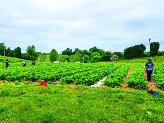 people pick strawberries in a field